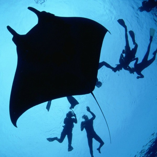 Divers-With-a-Giant-Manta-s